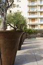 Sunny day in marseille france oversized olive tree pots near h tel de ville Royalty Free Stock Photo