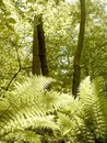 Sunny ferny forest in spring Royalty Free Stock Photo