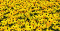 A sunny field with Black-eyed Susans Stock Images
