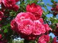 Sunny fresh roses dark pink climbing in the sunshine after rain Royalty Free Stock Images