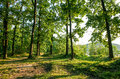 Sunny glade in oaken forest with high green tree Royalty Free Stock Photo