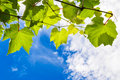 Sunny grape leaves on a branch against the blue cloudy sky Stock Photos
