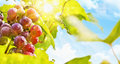 Sunny grapes fresh grape vine in bright sunshine summer sun lights Stock Images