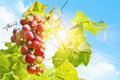 Sunny grapes fresh grape vine in bright sunshine summer sun lights Royalty Free Stock Photo