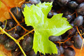 Sunny grapevine grape and leaf Stock Photo