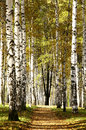 Sunny pathway in autumn evening birch grove beautiful Stock Photography