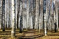 Sunny pathway in november autumn birch grove the Royalty Free Stock Image