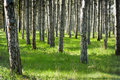 Sunny pine forest and the green grass Royalty Free Stock Photo