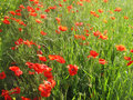 Sunny poppies field Stock Photography