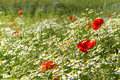 Sunny summer meadow with blooming poppies, many chamomiles or wh Royalty Free Stock Photo