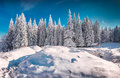 Sunny winter morning in snowy mountain forest. Royalty Free Stock Photo
