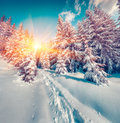 Sunny winter sunrise in the mountain forest. Royalty Free Stock Photo