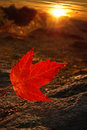 Sunray red maple leaf a backlit by the setting sun surrounded by sunrays Royalty Free Stock Photos