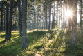 Sunrays in the woods pine trees Royalty Free Stock Photography