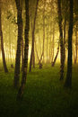 Sunrise in a birch grove morning mood Royalty Free Stock Photo