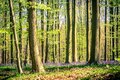 Sunrise and a bluebells carpet in the Blue Forest, Hallerbos national park Belgium Royalty Free Stock Photo