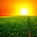 Sunrise on dandelion field Royalty Free Stock Photo