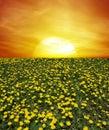 Sunrise of dandelion field Royalty Free Stock Photo