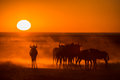 Sunrise in etosha namibia with a herd of wildebeest the foreground Stock Photography