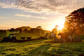 Sunrise on the farm cows eating breakfast by tractor Royalty Free Stock Photo