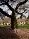 Sunrise highlights old cherry tree an university campus at the end of blooming season Stock Photos