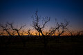 Sunrise on an Idaho orchard with fruit tree silhouette Royalty Free Stock Photo