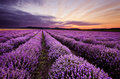 Sunrise in Lavender Field Royalty Free Stock Photo