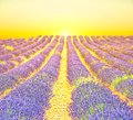 Sunrise in a lavender field provence Stock Photo