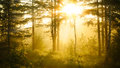 Sunrise in misty forest Royalty Free Stock Photo