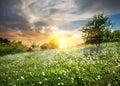 Sunrise over dandelions Royalty Free Stock Photo