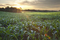 Sunrise over a field of young corn Royalty Free Stock Photo