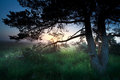 Sunrise over marsh through pine tree drenthe netherlands Stock Images