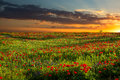 Sunrise Over Red Corn Poppy Fields in Texas Royalty Free Stock Photo