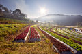 Sunrise over salad vegetable field Stock Photography