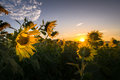 Sunrise over sunflower field Royalty Free Stock Photo