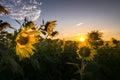 Sunrise over sunflower field Royalty Free Stock Photo