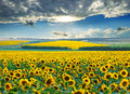Sunrise over sunflower fields with a dramatic sky Royalty Free Stock Image