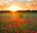 Sunrise poppies Royalty Free Stock Photo