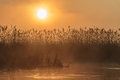 Sunrise among reeds on the lake the comana natural park romania Stock Image