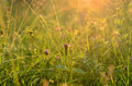 Sunrise in summer field meadow with green grass and flowers Royalty Free Stock Photos