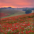 Sunset across a Dorset poppyfield Royalty Free Stock Photo