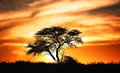 Sunset against acacia tree on african plains kalahari desert south africa Royalty Free Stock Photography