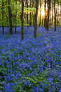 Sunset in a bluebell wood Royalty Free Stock Photography
