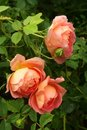 Peach-colored English roses in a spring garden after the rain Royalty Free Stock Photo