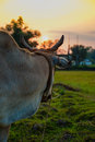A cow gazing towards Sunset Royalty Free Stock Photo
