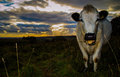 Sunset cow white close up dramatic backdrop Stock Images