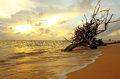 Sunset dead tree in the sea at naiyang beach phuket thailand Royalty Free Stock Photo