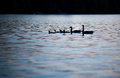 Sunset ducks close up a family of swim at on caspian lake in greensboro vermont during the summer Stock Image