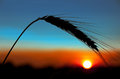 Sunset ear of wheat on a background the sun Stock Image