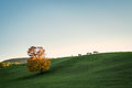 Sunset field cows Royalty Free Stock Photo